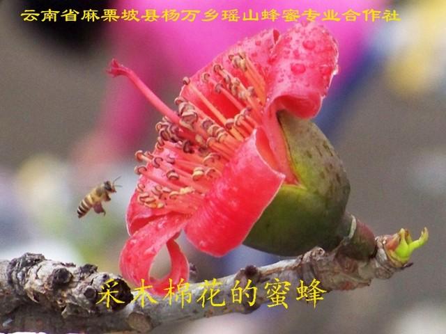 采木棉花的蜜蜂9.jpg