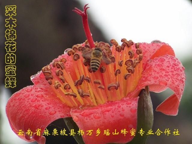 采木棉花的蜜蜂11.jpg