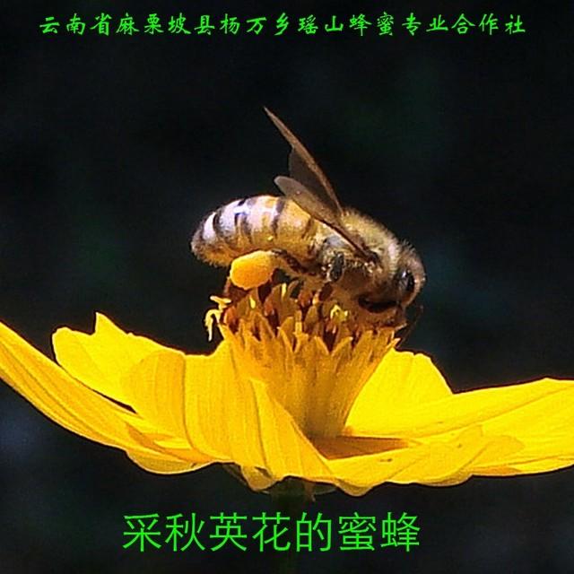 采秋英花的蜜蜂11.jpg