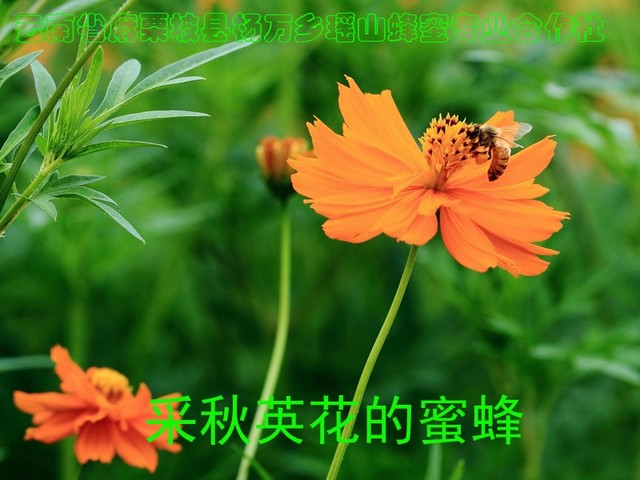 采秋英花的蜜蜂19.jpg