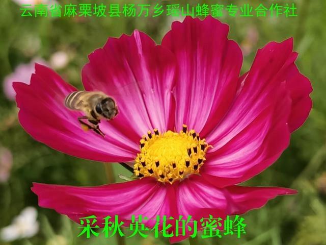 采秋英花的蜜蜂20.jpg