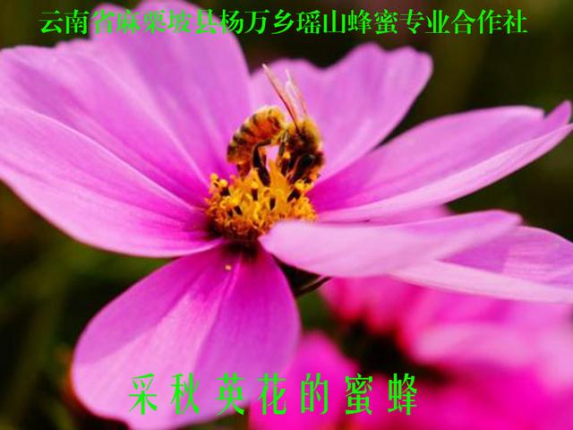 采秋英花的蜜蜂21.jpg