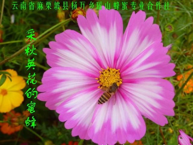 采秋英花的蜜蜂22.jpg